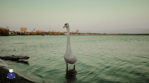 21. Swan in Front of Toronto